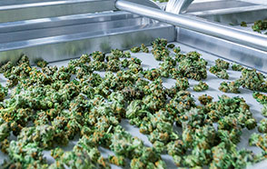 How Cannabis Has Boomed In the United States